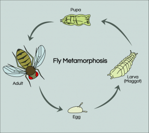 fruit-fly-life-cycle